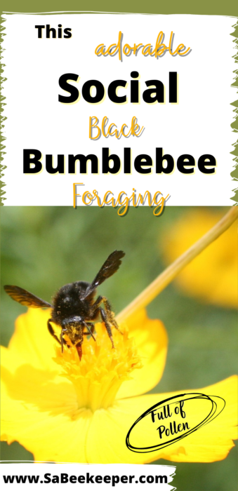 A Pinterest image of this adorable social black bumblebee foraging