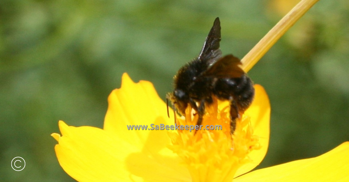 close up of a black bumblebee on cosmos flowers