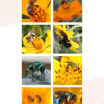 Solitary Bee Species in Ecuador