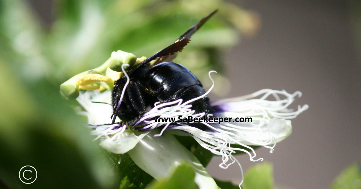 a photo of the carpenter bee on a passion fruit flower digging down for nectar