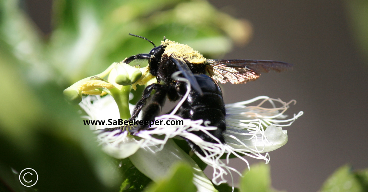 a carpenter bee full of pollen after foraging for nectar. she is about to leave to another passion fruit flower