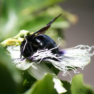 Carpenter Bee Pollinates Passion Fruit Flower