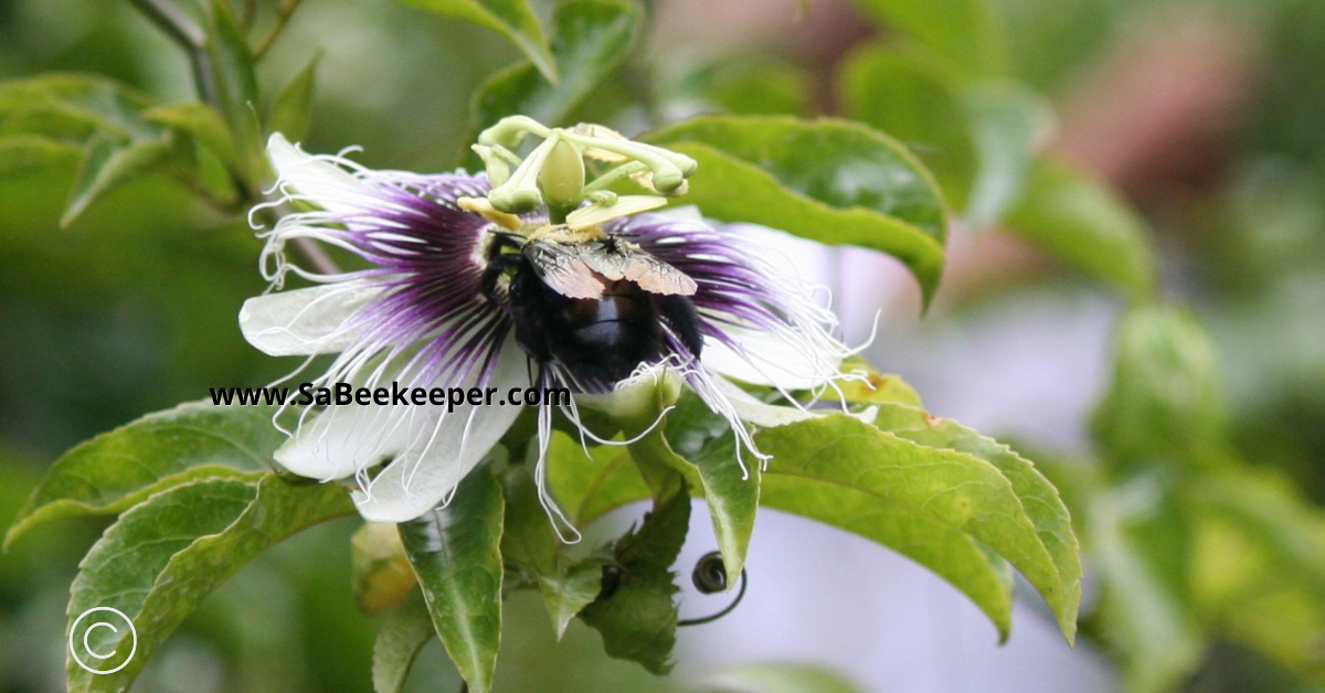 a carpenter bee foraging a passion fruit flower