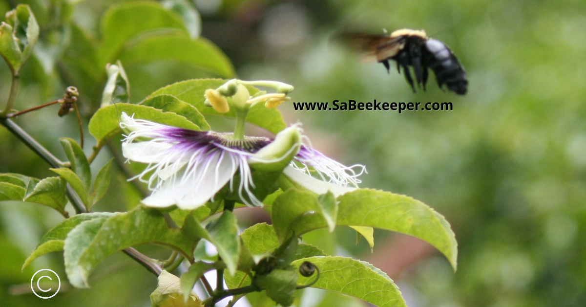 The buzz of a carpenter bee cant be missed as she flies around to different passion fruit flowers