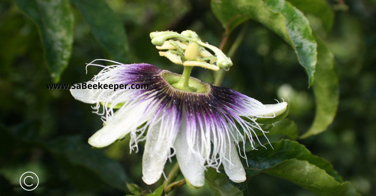 A passion fruit flower describing all its components.