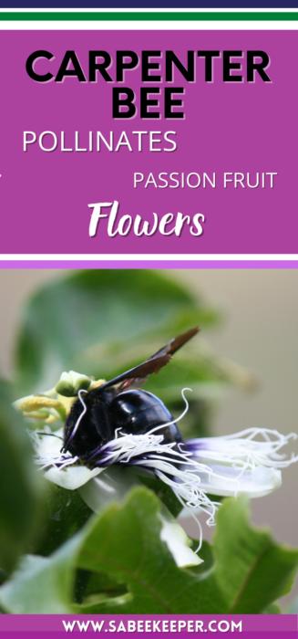 Pinterest image of Carpenter bee pollinates passion fruit flowers