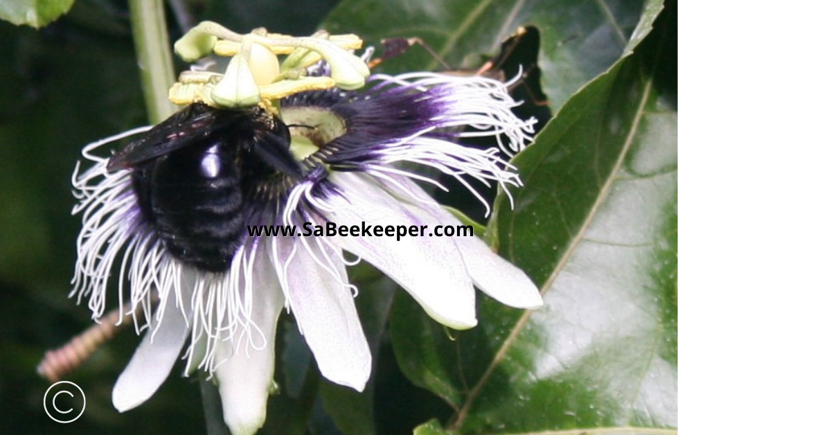 a close up of the passion fruit flower and a carpenter bee foraging for nectar