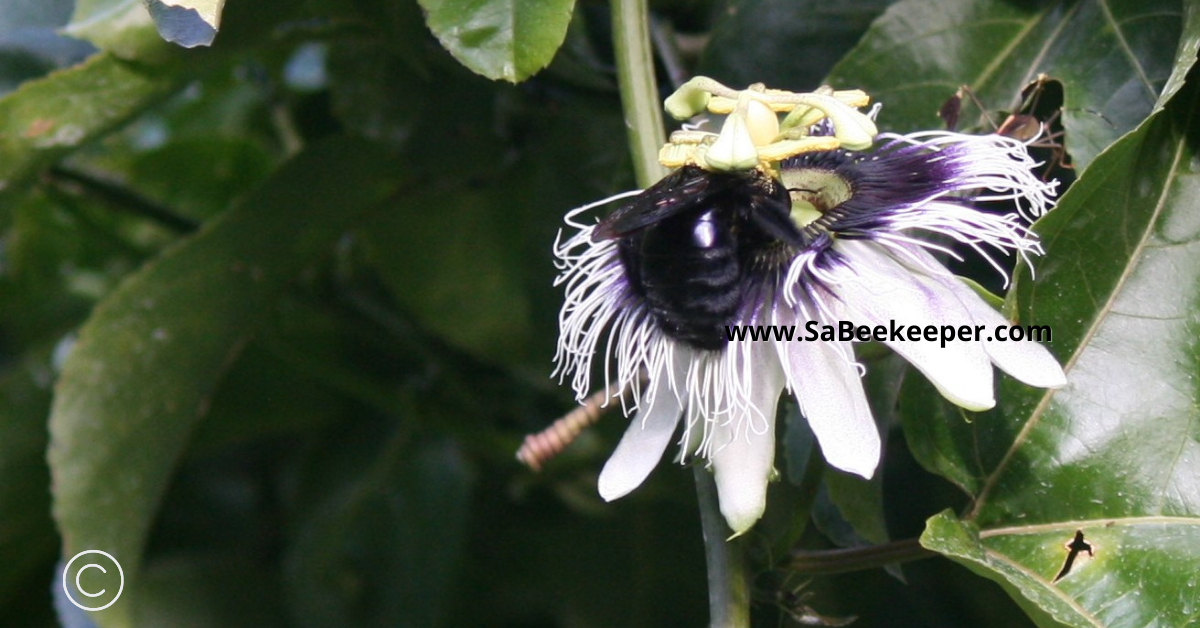 a passion fruit flower being pollinated by a large black carpenter bee and collecting pollen in the process.