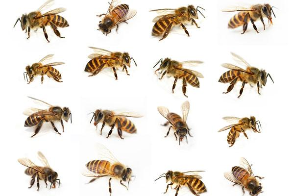 Some photos of the Caucasian honey bee species that are all yellow or gold and black striped.