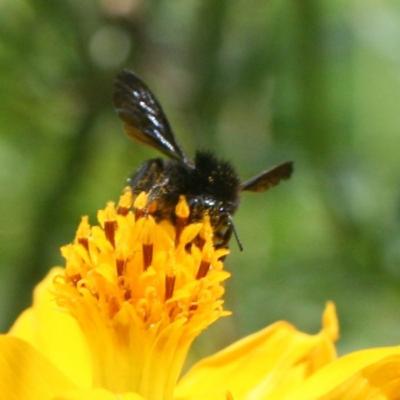 Social Black Bumblebee Foraging