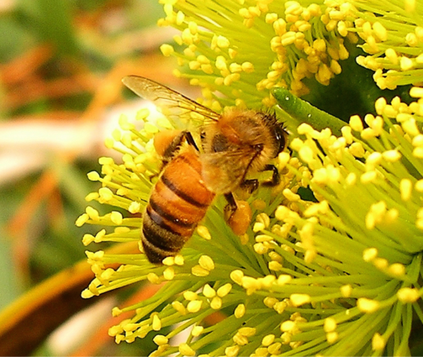 a honey bee on eucalyptus flowers