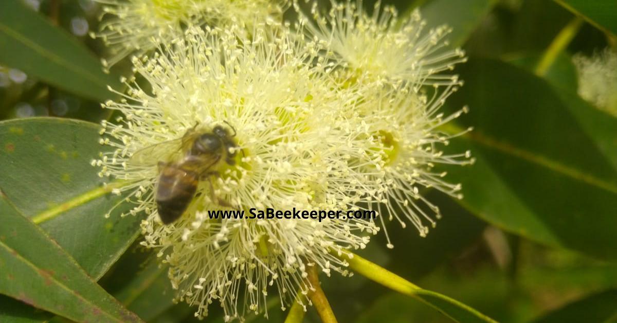 south african honey bee on a eucalyptus flower.