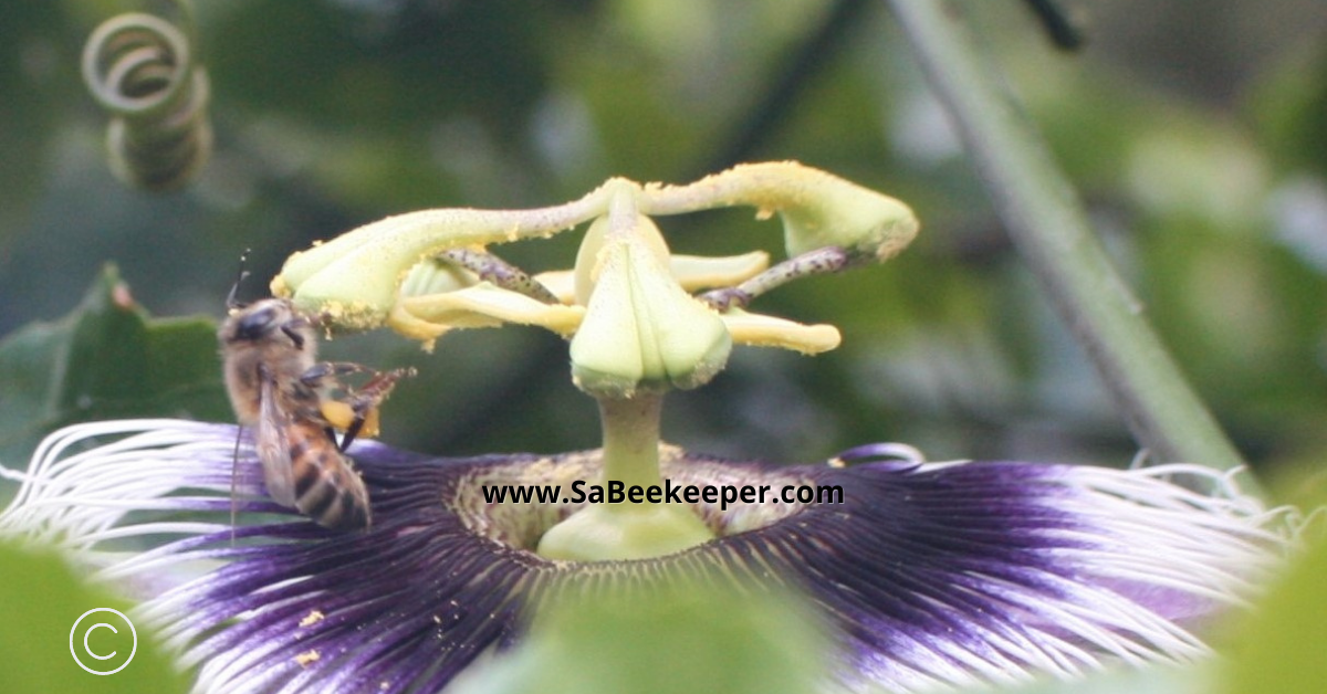 honey bee collecting pollen from the stigmas of the passion flowers