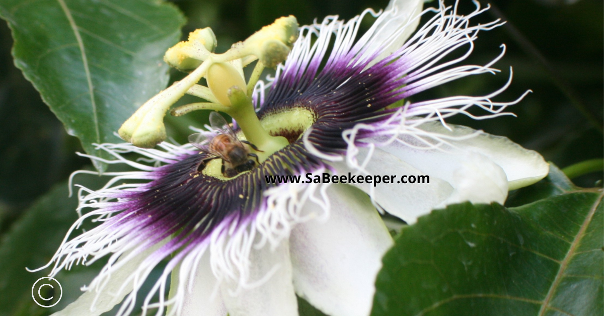 honey bee foraging for nectar on this beautiful passion flower