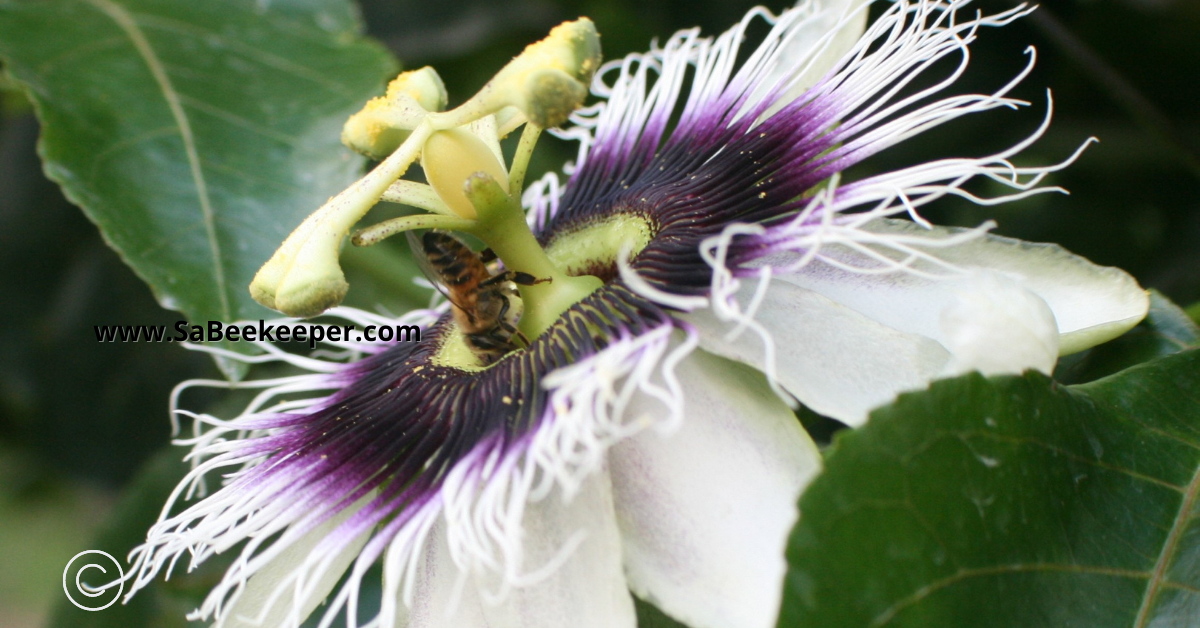 foraging honey bee on a passion flower