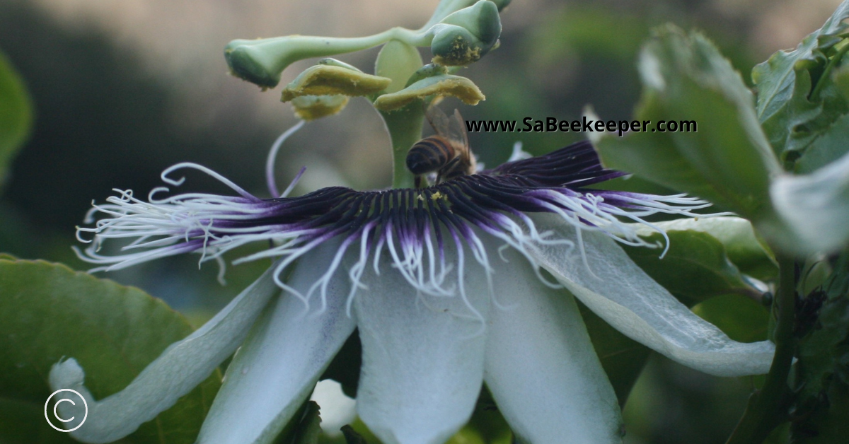 foraging for nectar on a passion fruit flower