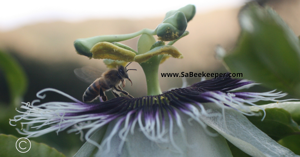 a honey bee on the corona of a passion flower, that is so beautiful
