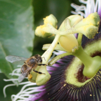 Passion Flowers Attract Honey Bees