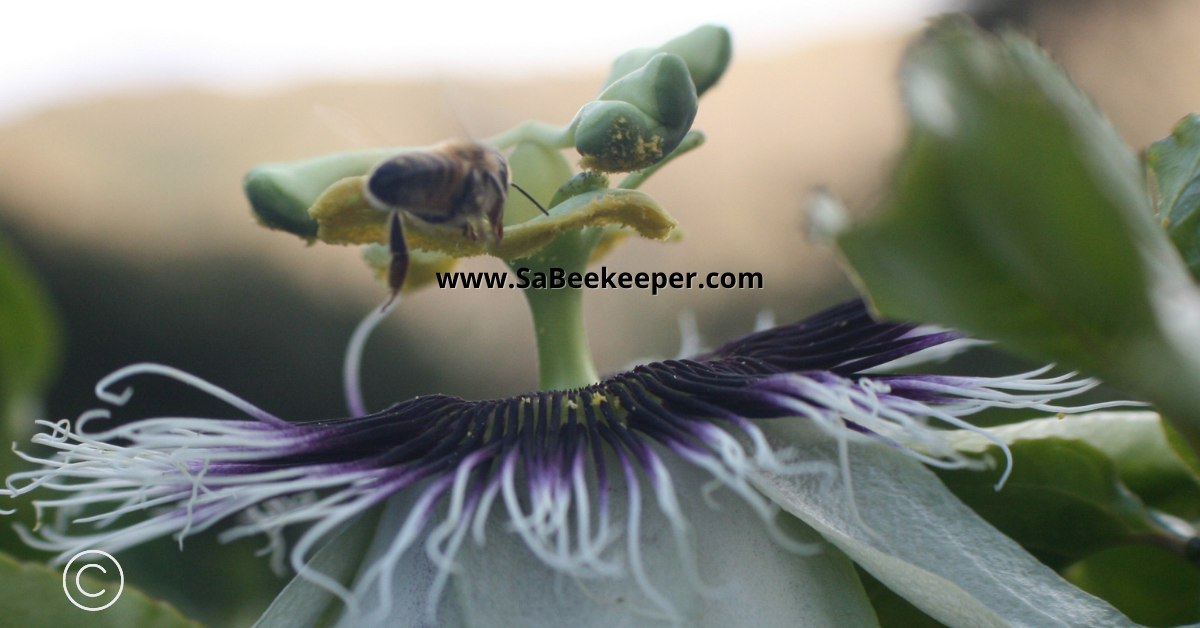 a passion flower and all its pollen on stamens and a honey bee flying off