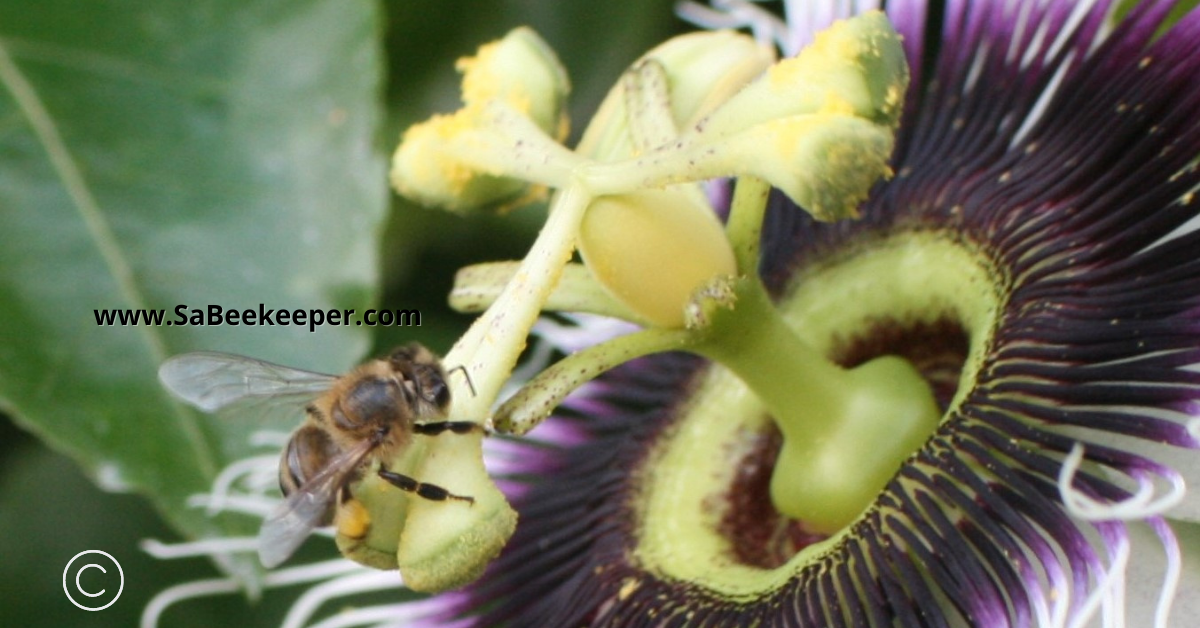 a honey bee on the stigma of a passion flower