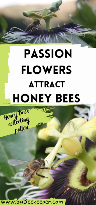 a pinterest image of passion flowers attract honey bees