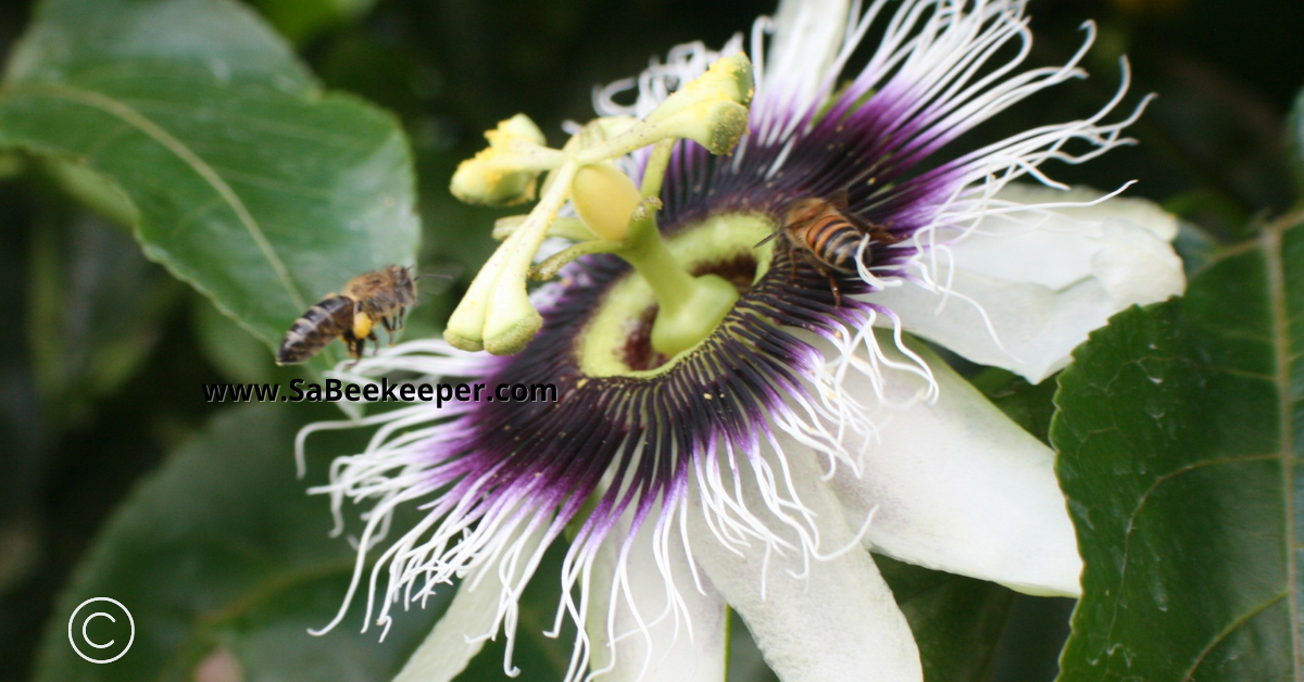 a dark honey bee attracted to the passion flower