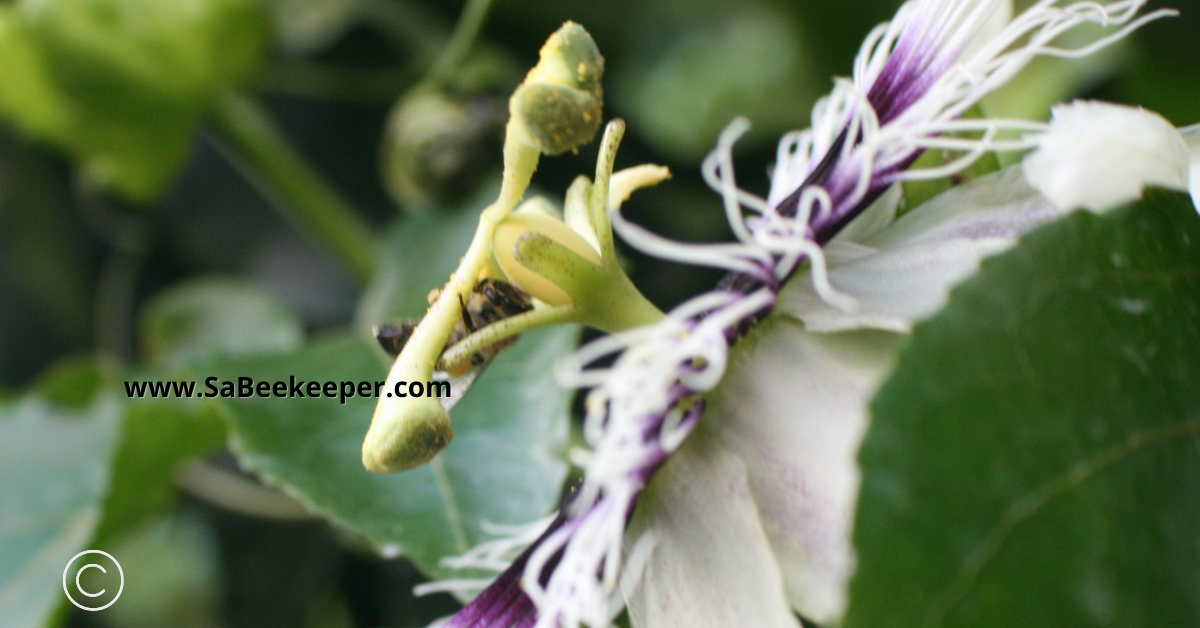 a honey bee collecting pollen off the passion flower components