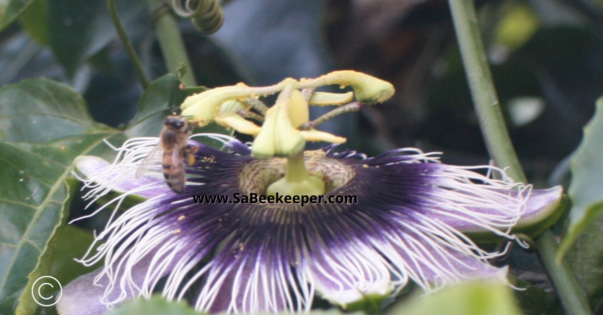 pollen collected by a honey bee from the passion flower