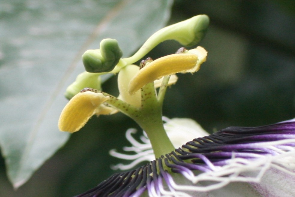 a passion flower that stamens do not have any pollen on and the stigma has not been pollinated because honey bees collected all the pollen.