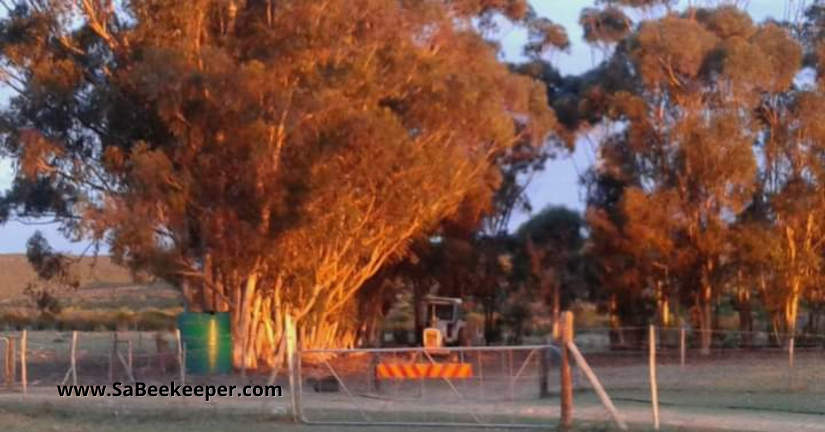 A row of eucalyptus trees in the sunset.