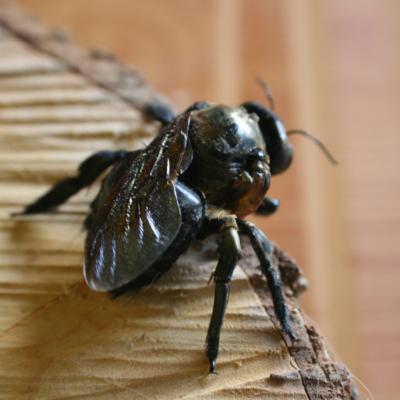 A Carpenter Bees Deformed Wing