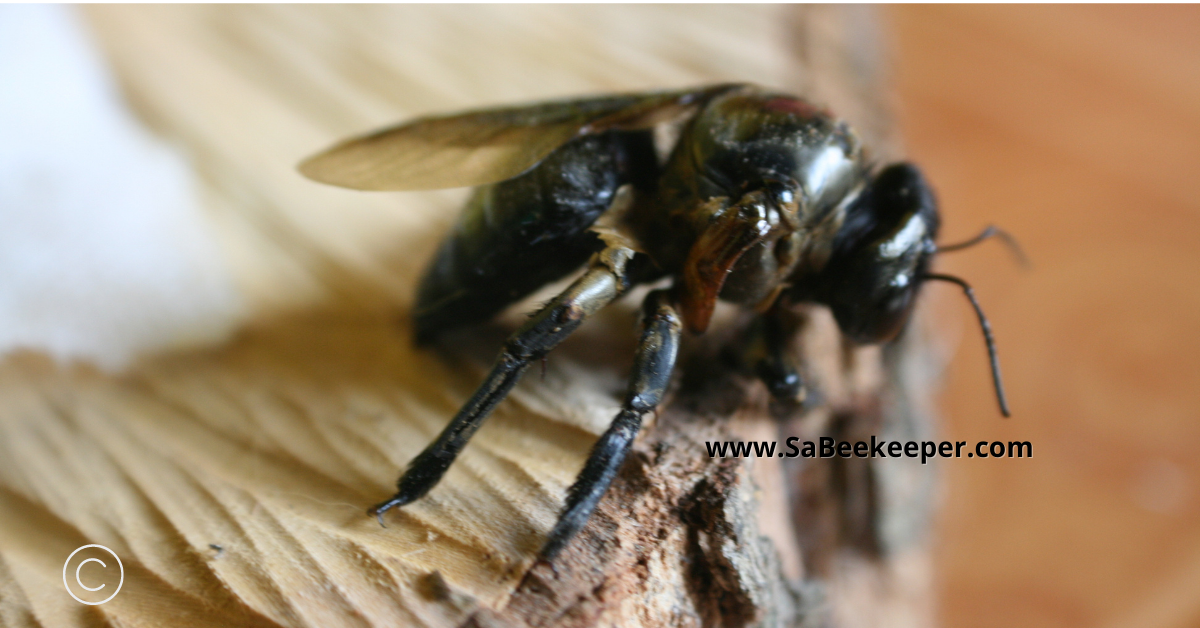 notice the deformed wing of the carpenter bee