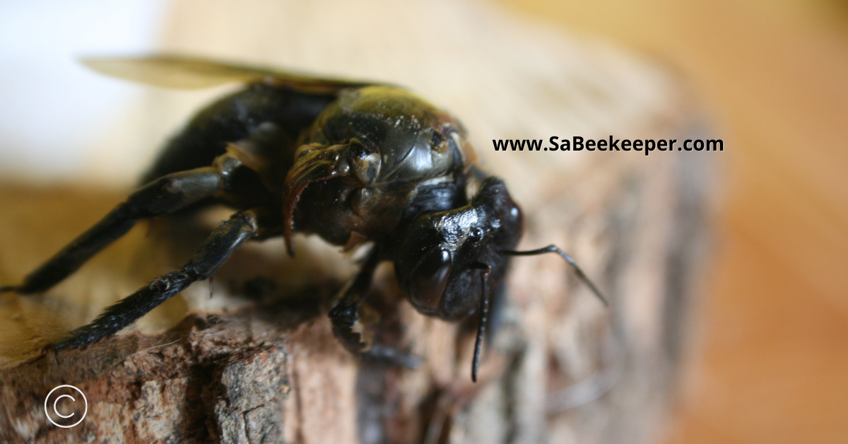 front view of this newly hatched carpenter bee with deformed wings