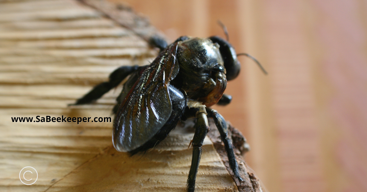 this carpenter bee has one normal wing and a small deformed wing