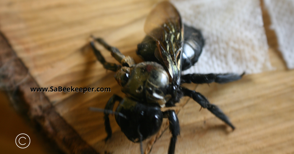 top view of the deformed winged carpenter bee