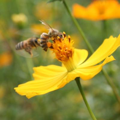 Africanized Honey Bee Species in Ecuador