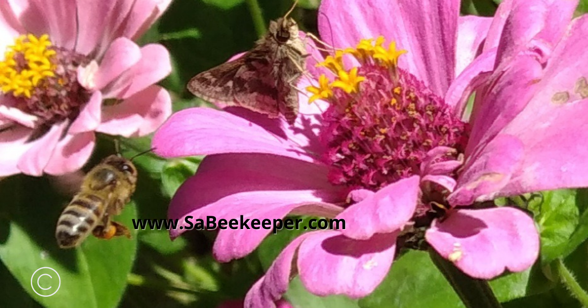 a moth or butterfly and a bee foraging on zinnia flowers