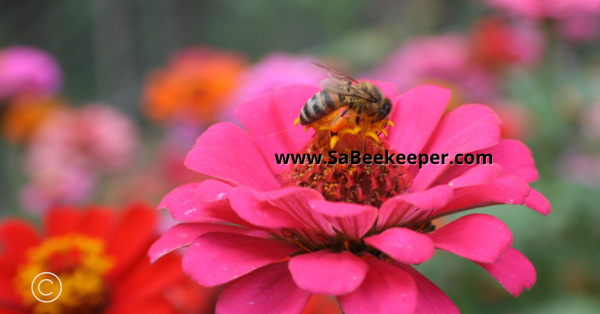 a pink zinnia flower and a foraging honey bee