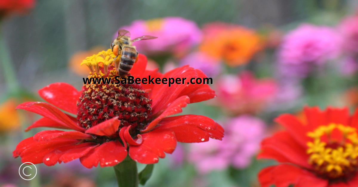 a honey bee forages continuously on a red zinnia flower