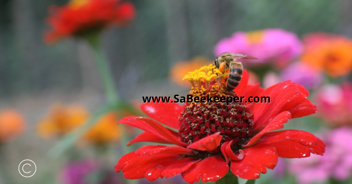 a red zinnia flower and a honey bee
