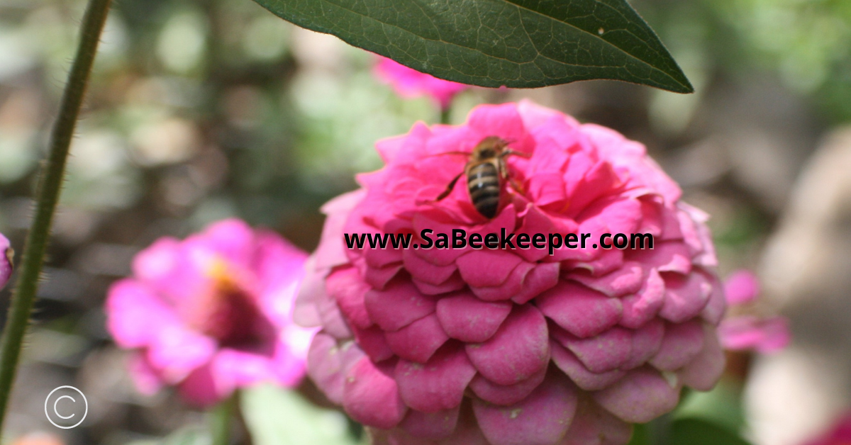 honey bee forages on fully petaled pink zinnia flower