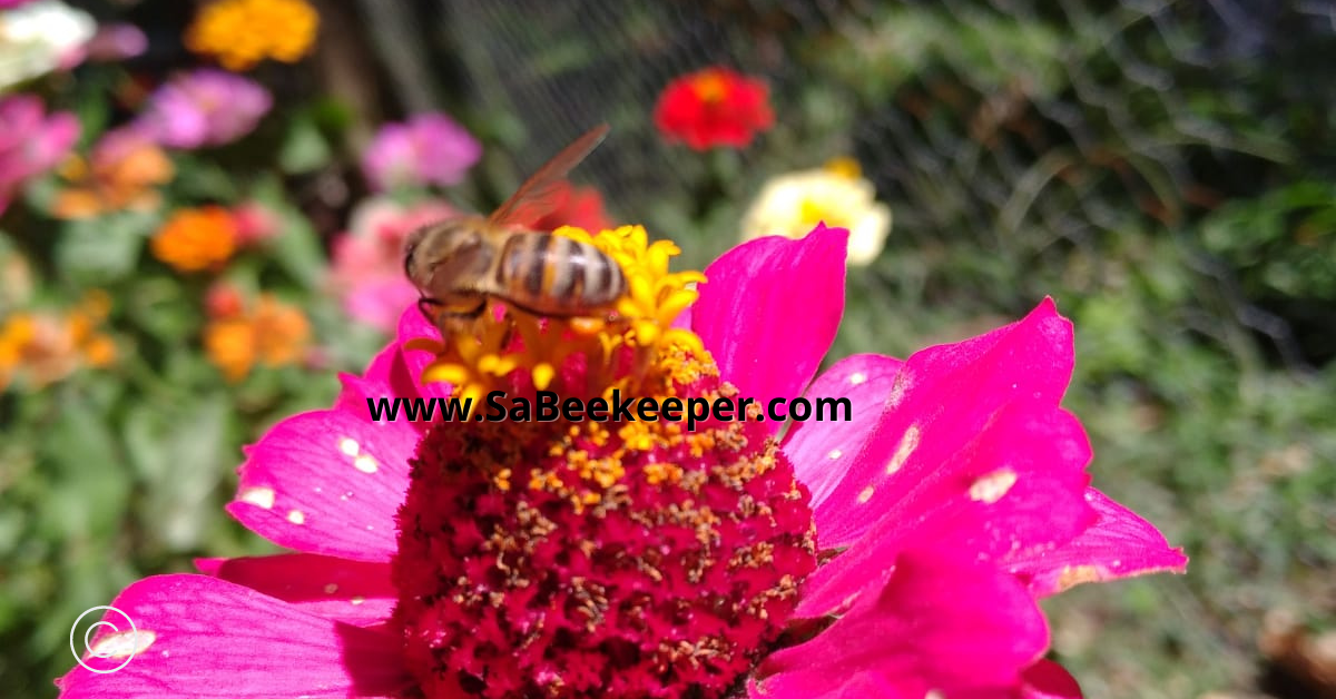 a close up of a honey bee on a red purple zinnia flower