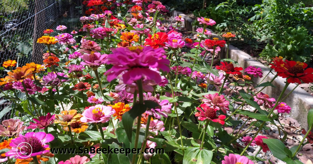 a array of colorful zinnia flowers in the vegetable garden beds.