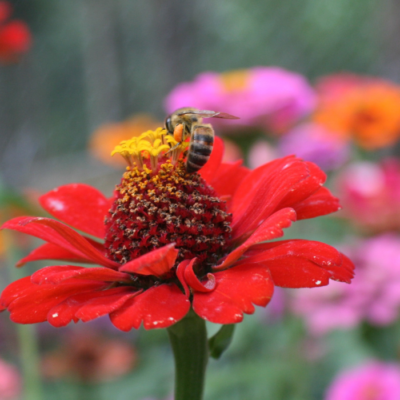 Bees Love Colorful Zinnia Flowers