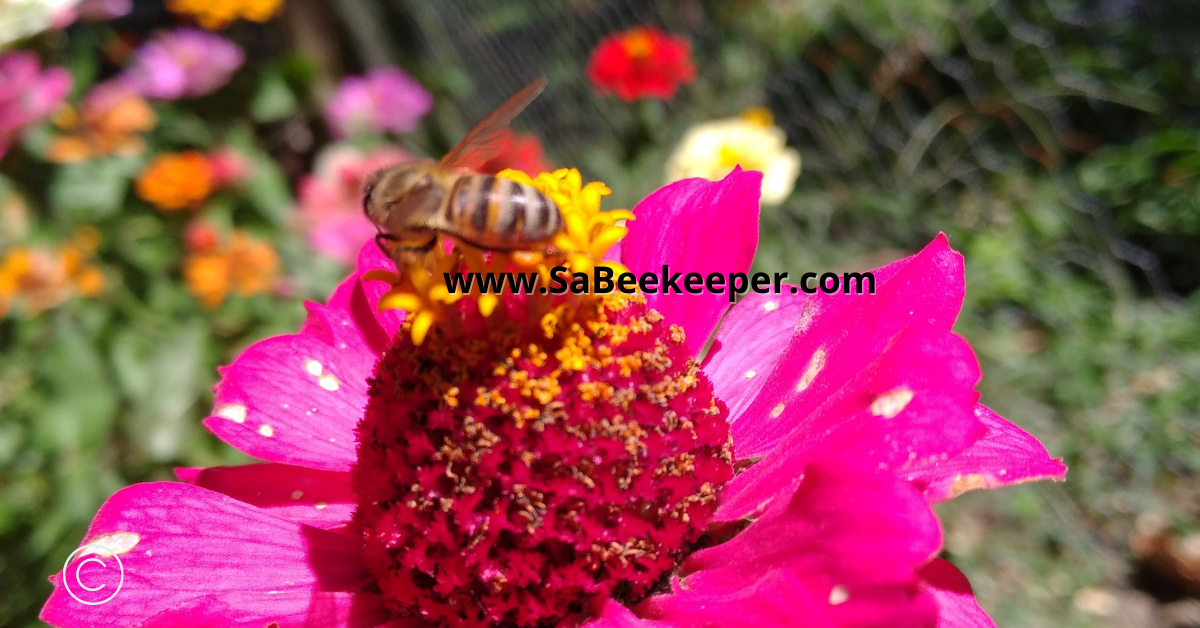 honey bee collecting food on the zinnia flowers