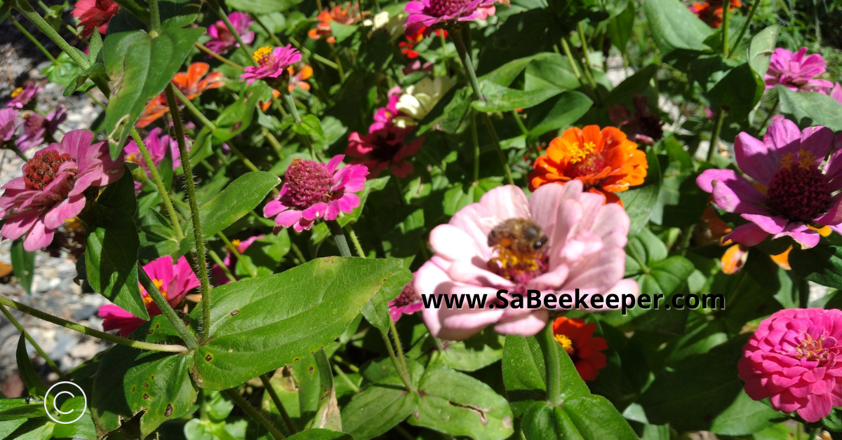 a garden of zinnias and pollinators on the flowers