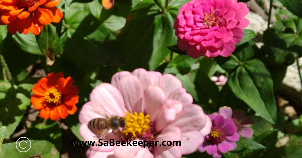 pink zinnia flowers and a bee foraging
