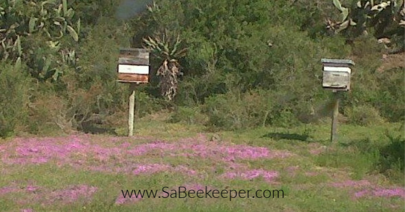 Established Bee Swarms on Farm with tiny purple flowers carpeting the ground
