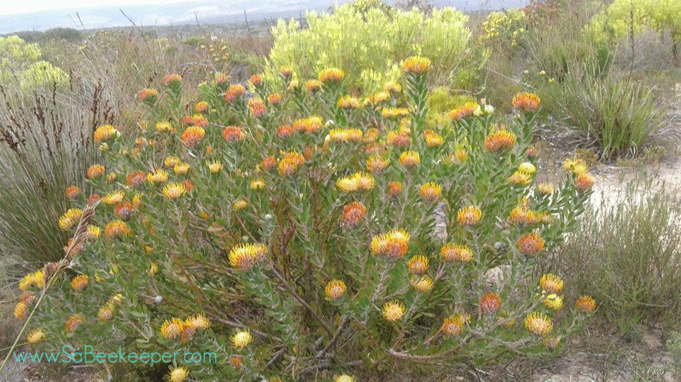 south african fynbos flowers that cape honey bee loves