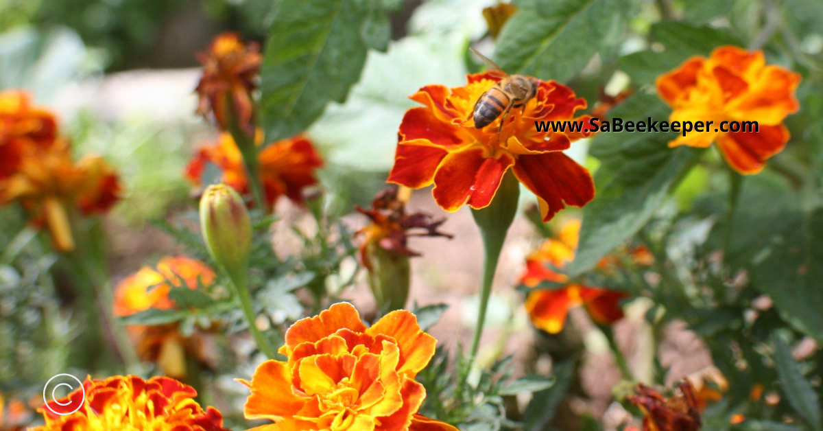 marigolds planted in vegetable gardens to deter many insects.